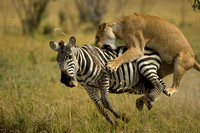 Lion and Zebra -  First Prize, Wildlife
