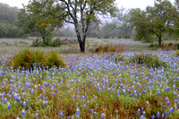Texas Bluebonnets in the Morning Mist - Hill Country, Texas