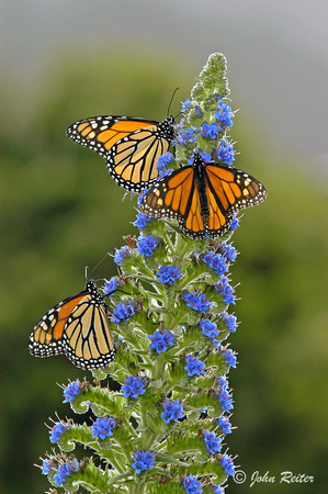 Monarch Butterflies - Big Sur, California