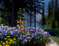 Pansies on Moraine Lake - Banff National Park, Canada