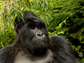 Mountain Gorillas of Rwanda - Volcanoes National Park